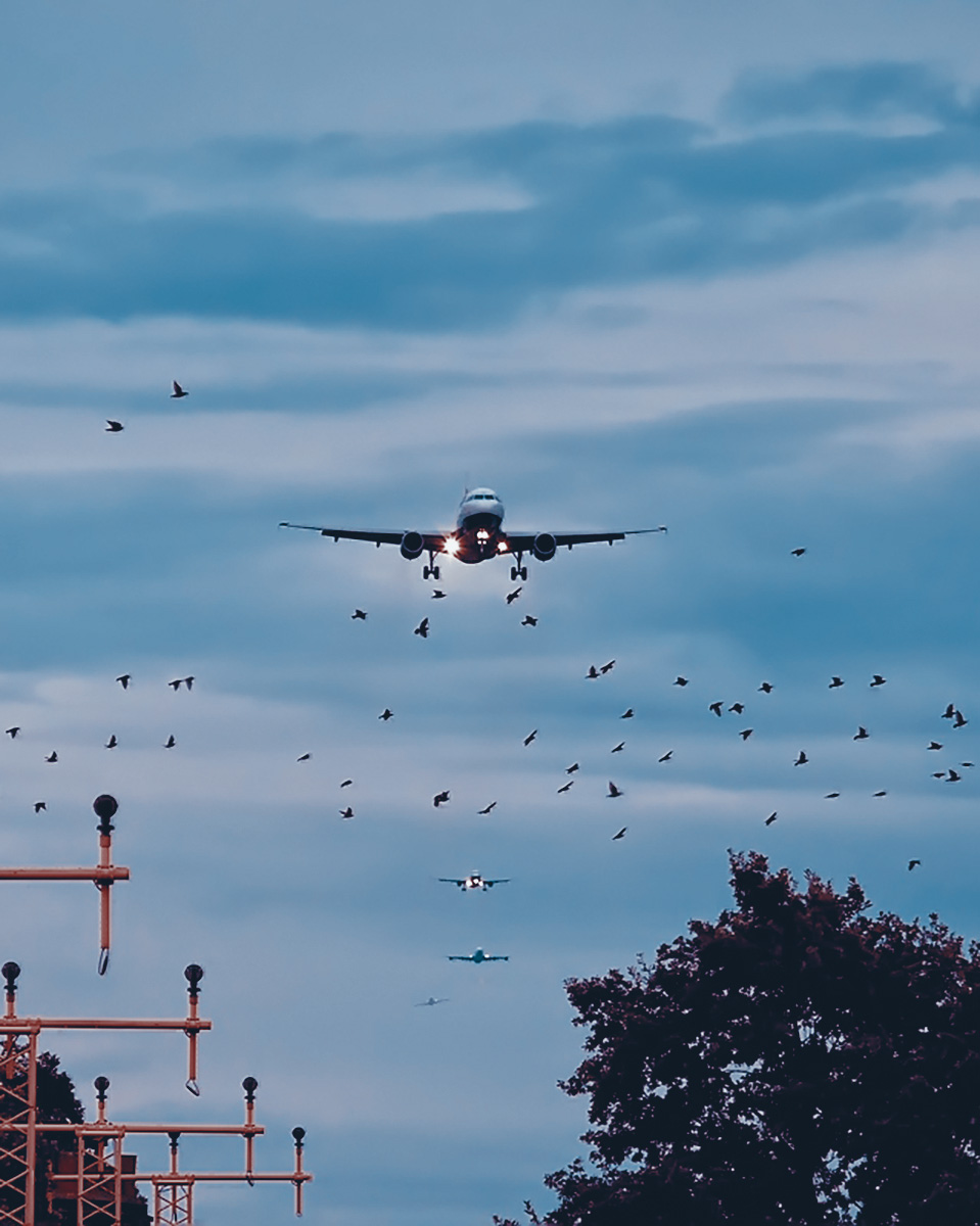 A plane landing and birds flying very close